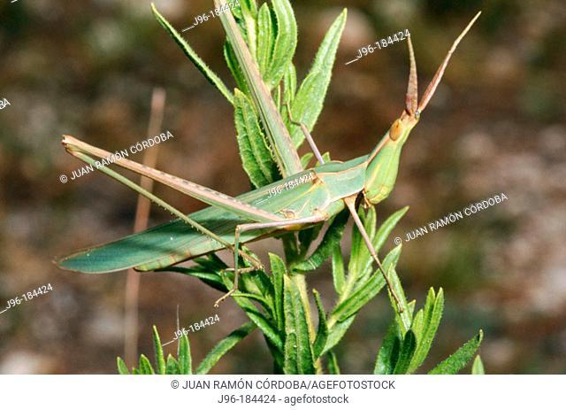Grasshopper (Acrida hungarica). Parc Natural del Garraf. Barcelona province. Spain