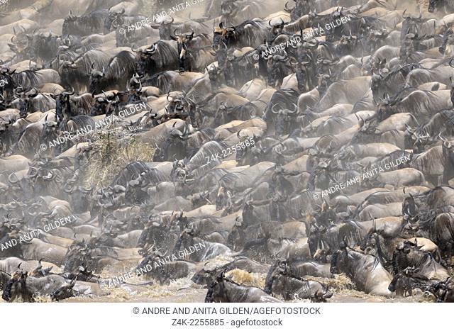 Herd of Wildebeest (Connochaetes taurinus) crossing the Mara River, Serengeti national park, Tanzania