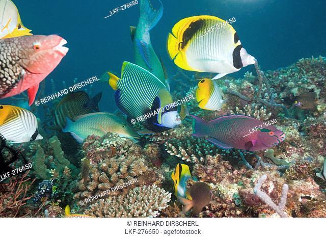 Coralfishes on Coral Reef, Maldives, North Ari Atoll
