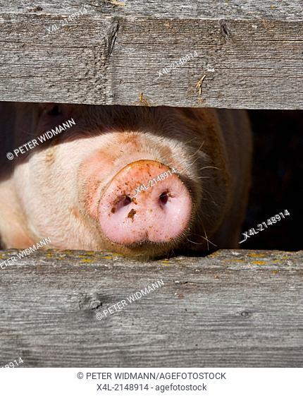 pig, Austria