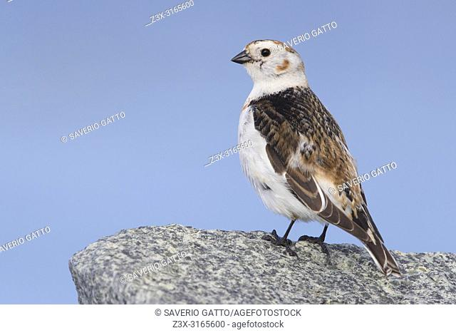 Snow Bunting (Plectrophenax nivalis insulae), adult female perched on a rock