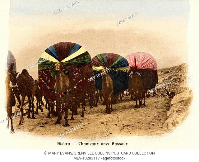Front view of a number of camel palanquins (covered litters), used to transport wives and children across the arid desert of southern Algeria