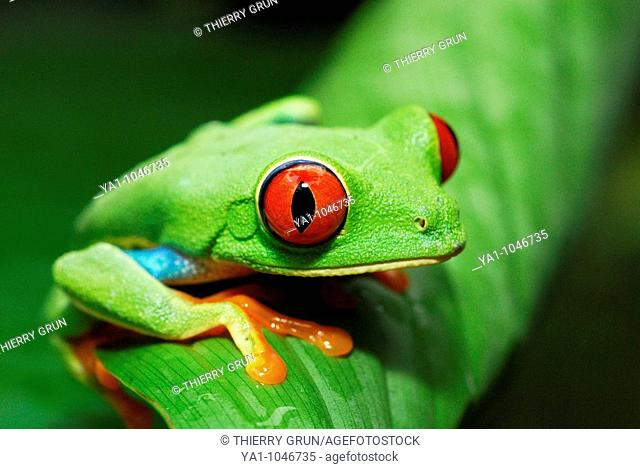Red eyed tree frog (Agalychnis callidryas) perched on a tree leaf. Tortuguero National park, Limon province, Costa Rica