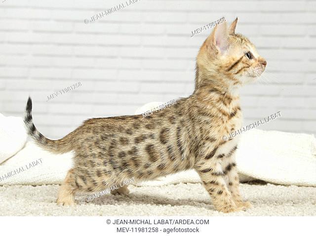 Bengal Cat, kitten