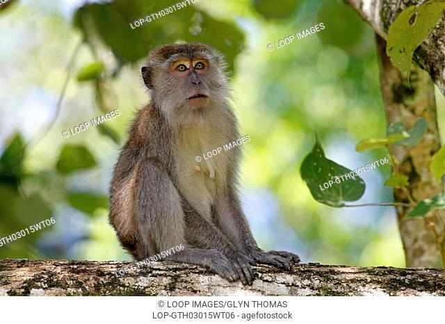 Crab eating macaque also known as the long tailed macaque at Bako National Park in Sarawak in Malaysia