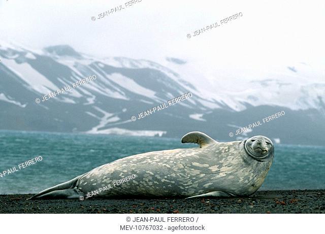 Weddell / Weddel Seal (Leptonychotes weddellii)