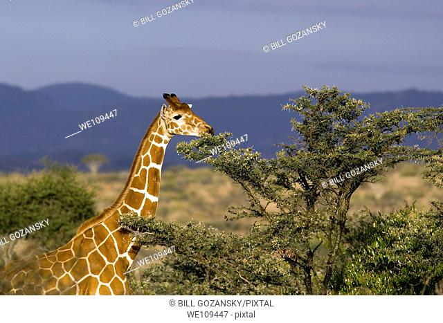 Reticulated Giraffe and Acacia Tree - El Karama Ranch, Laikipia Region, Kenya