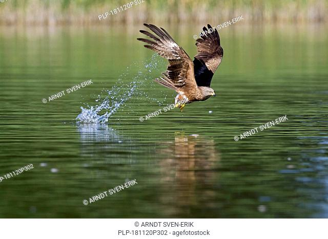Black kite (Milvus migrans) catching fish in flight from water surface of lake in summer