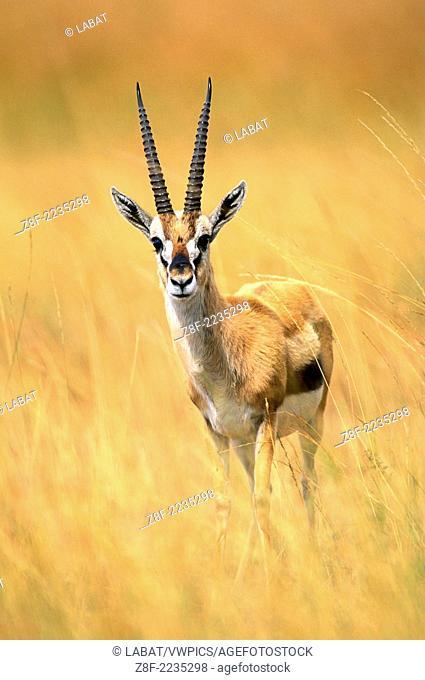 Thomson's gazelle (Eudorcas thomsonii), Masai Mara, Kenya