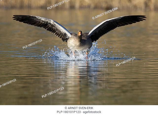 Greylag goose / graylag goose (Anser anser) landing on water in pond in front of reedbed