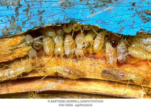 Termites (Reticulitermes lucifugus) Colony on timber