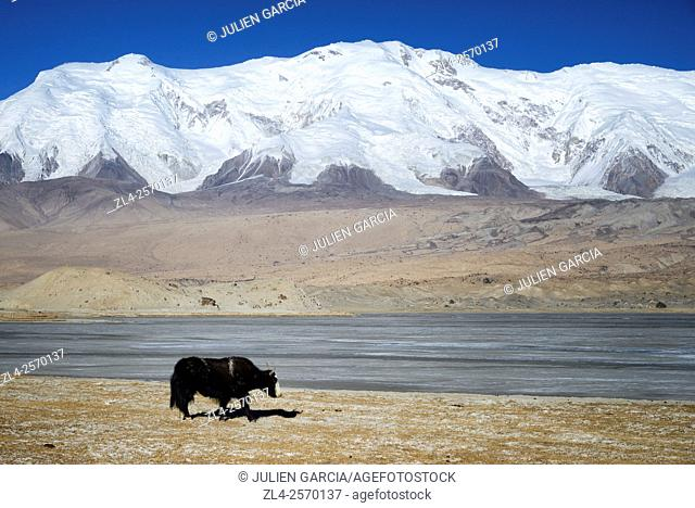 China, Xinjiang Uyghur Autonomous Region, yak at Karakul lake (3600m) in winter