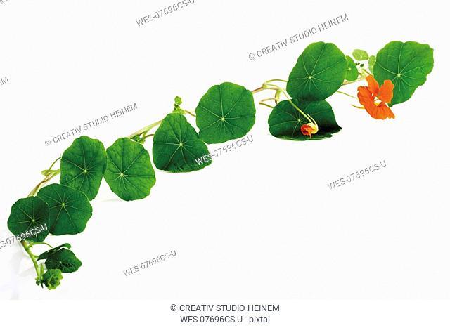 Leaves of nasturtium Tropaeolum majus
