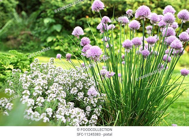 Flowering chives and thyme in a garden