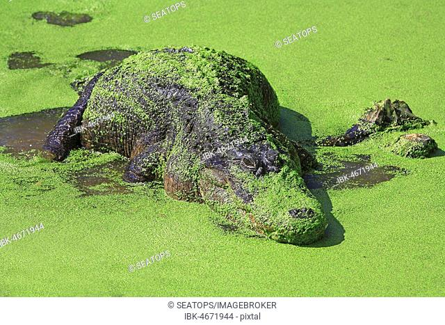 American alligator (Alligator mississippiensis), lies in the water between green water lenses, Everglades, Florida, USA
