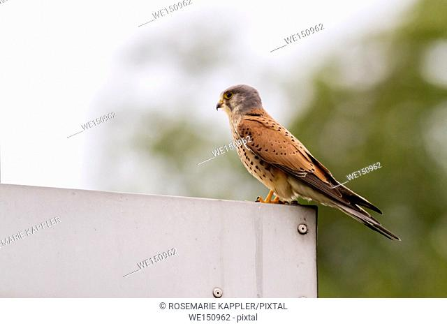 germany, saarland, Homburg - A common krestel on his vantage point is searching for fodder