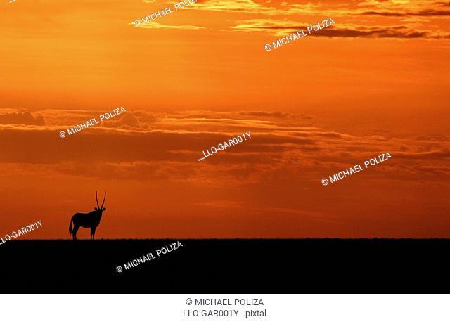 Silhouette of a Lone Gemsbok Oryx gazella at Sunset  Namib Desert, Namibia