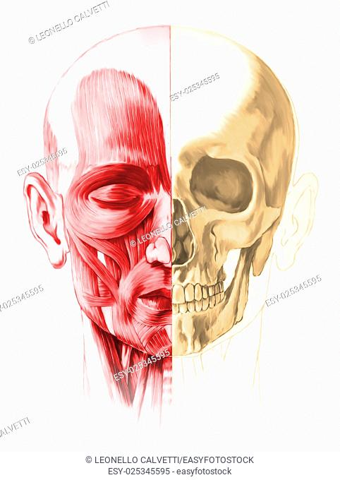 Frontal view of male human head, with half muscles and half skull. On white background. Anatomy image, hand painted style. Clipping path included