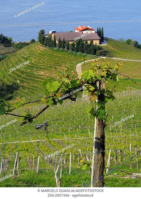 Vineyard at Zarautz village countryside. Basque country. Gipuzkoa province. Euskadi, Spain