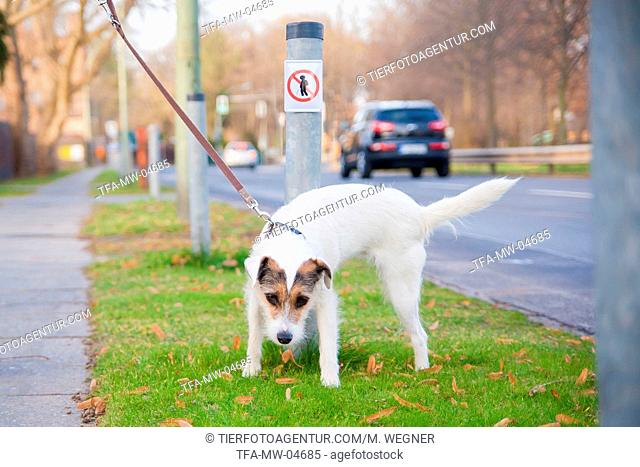peeing Parson Russell Terrier