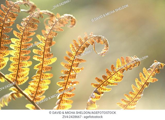 Close-up of a male fern (Dryopteris filix-mas) leaf in a forest in autumn