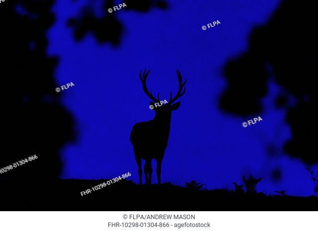 Red Deer (Cervus elaphus) stag, silhouetted at dusk, Bradgate Park, Leicestershire, England, October