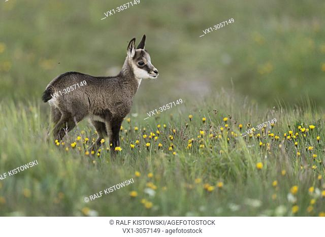 Chamois ( Rupicapra rupicapra ), cute fawn, young baby animal, standing in a flowering alpine meadow, watching for its parents, Europe