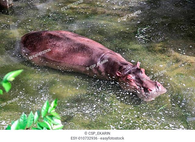 Hippo is immersed in water, Thailand Ma-Li