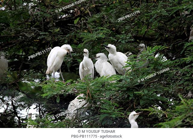 The Cattle Egret Bubulcus ibis locally known as go bok is a small white heron found near water-bodies, cultivated fields, usually near grazing cattle Rajshahi