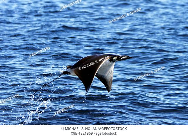 Adult Spinetail Mobula Mobula japanica leaping out of the water in the upper Gulf of California Sea of Cortez, Mexico  Note the long whip-like tail longer than...