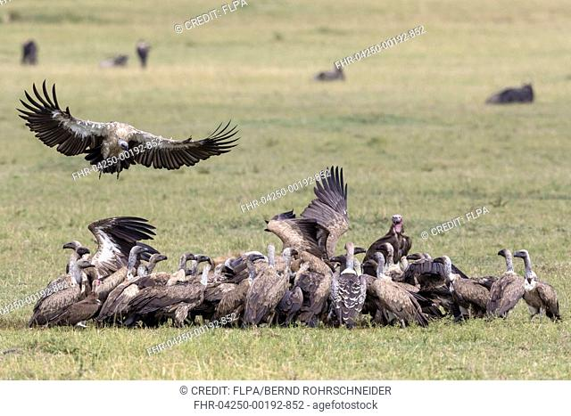 White-backed Vulture (Gyps africanus), Ruppell's Vulture (Gyps rueppellii), Lappet-faced Vulture (Torgos tracheliotus) and Hooded Vulture (Necrosyrtes monachus)...