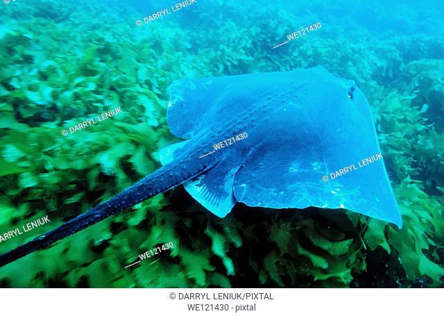 Stingray Dasyatis sp   Poor Knights islands  New Zealand