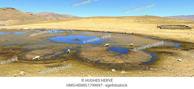 Peru, Espinar province, Oruro, herd of llamas grazing in a lagoon