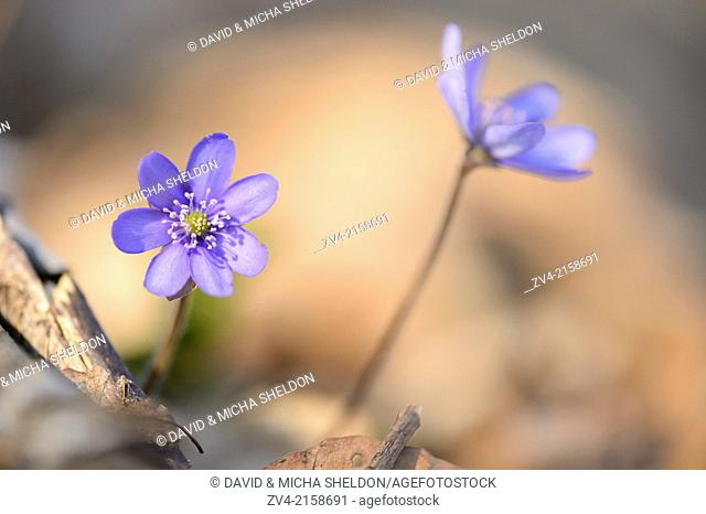 Close-up of a Common Hepatica (Anemone hepatica) blossoms in a forest on a sunny evening in spring