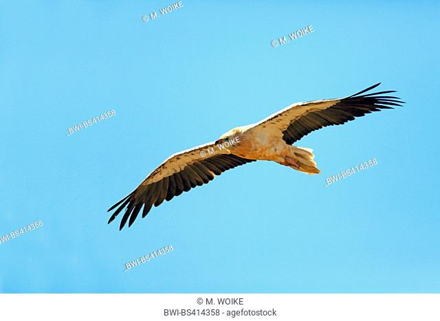 Egyptian vulture (Neophron percnopterus), flying, Canary Islands, Fuerteventura