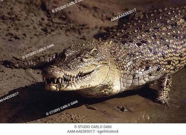 Crocodile (Crocodylus Porosus) Mahanadi Delta, India