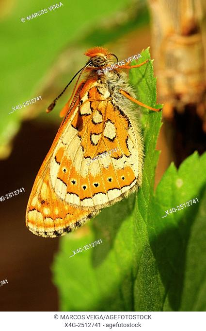 Newly hatched Marsh Fritillary butterfly ( Euphydryas aurinia)