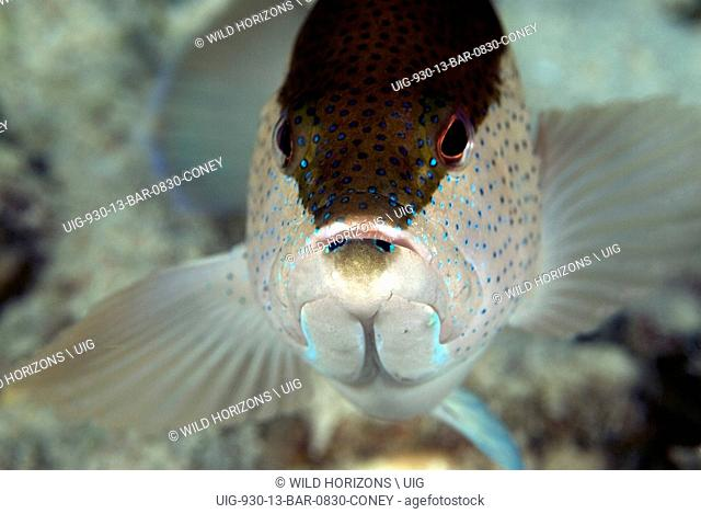 Face shot of a coney fish showing bicolor variation. Cephalopholis fulva. Beri Reef, Bonaire, Netherlands Antilles. . .