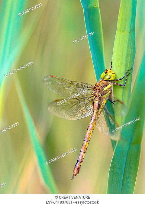 Green-eyed hawker dragonfly (Aeshna isoceles) resting on reed with blurred green and turqouise background