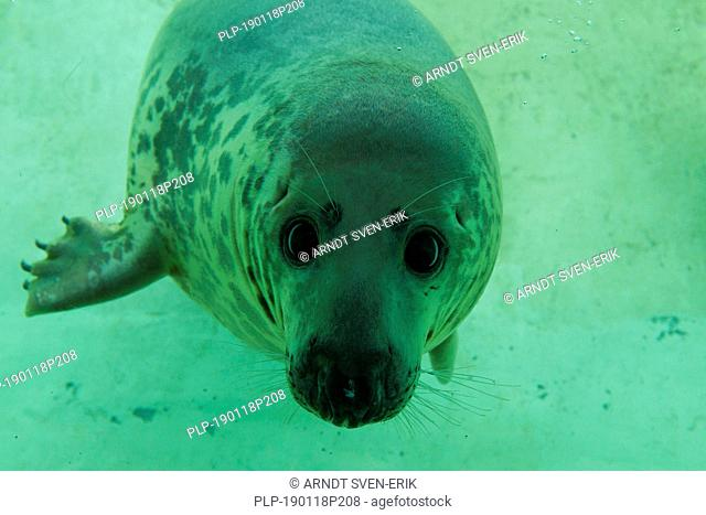Grey seal / gray seal (Halichoerus grypus) swimming underwater in basin at Seal Centre / Seehundstation Friedrichskoog, Schleswig-Holstein, Germany