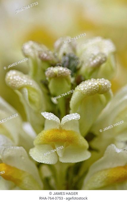Butter-and-eggs common toadflax yellow toadflax Linaria vulgaris, San Juan National Forest, Colorado, United States of America, North America