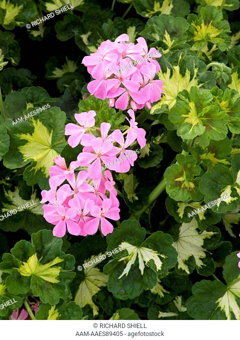 Pink Happy Thought Geranium (Pelargonium domesticum)
