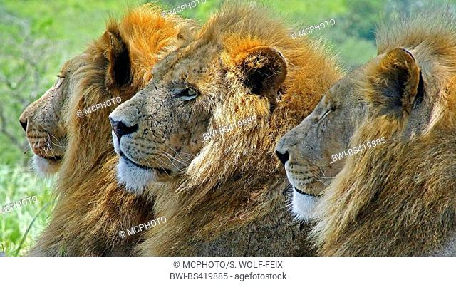 lion (Panthera leo), portrait of three male lions, South Africa, Krueger National Park