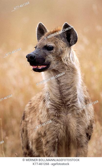 Hyena (Crocuta crocuta). Masai Mara Game Reserve. Kenya