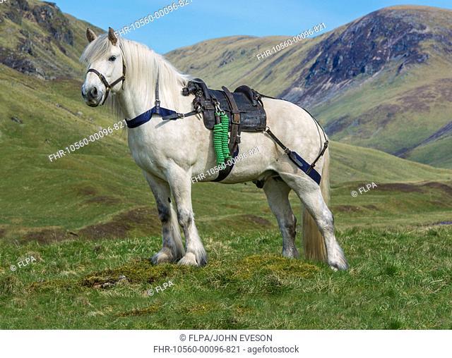 Horse, Highland Pony, adult, with Glenstrathfarrar deer stalking saddle, standing on upland, Spittal of Glenshee, Cairngorms N.P