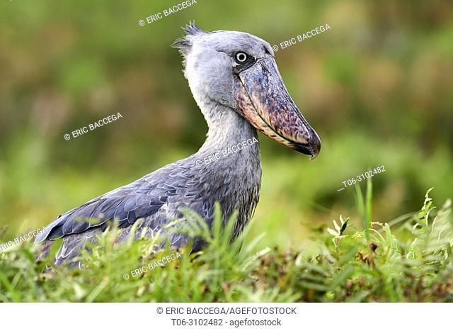 Whale headed / Shoebill (Balaeniceps rex) portrait. Swamps of Mabamba, Lake Victoria, Uganda, Africa