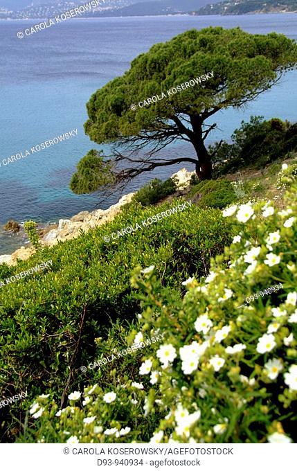 F, Europe, France, Cote D'Azur, St.Tropez, coast, pine