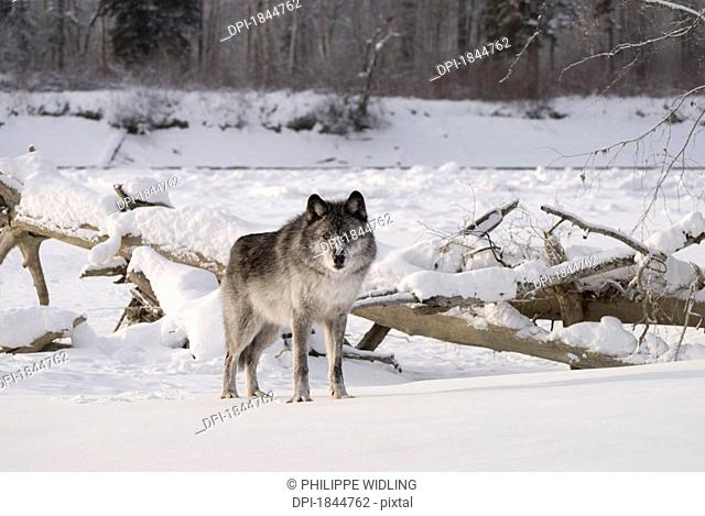 Wolf in the snow