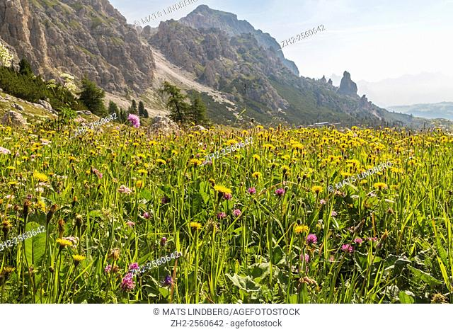 Meadow in the Dolomites, Val Gardena, Selva, italy, with mountains in the background, and and Field scabious, meadow salsify and red clover in the meadow