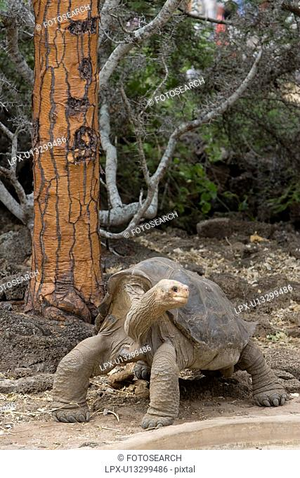 Captive Galapagos giant tortoise Geochelone elephantopus being fed at the Charles Darwin Research Station on Santa Cruz Island in the Galapagos Island Group